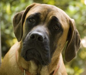 Amstiff Dog Breed Information All You Need To Know