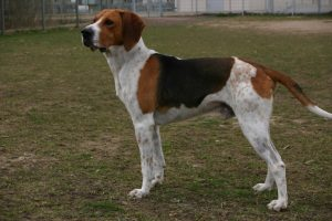 Anglo Francais De Petite Venerie Dog Breed Information All You Need To Know