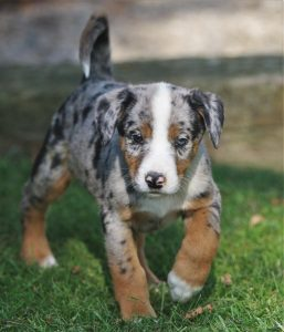 Aussiedor Dog Breed Information – All You Need To Know