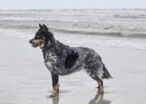 Aussimo Dog Breed Information – All You Need To Know