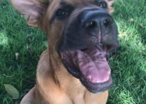 5 Best Dog Products For Boxer Shepherds (Reviews Updated 2021)