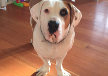 Best Dog Products For Bully Bassets