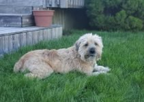 Best Dog Products For Bully Wheaten