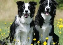 Best Dog Products For Border Sheepdogs