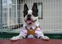Best Dog Products For Bostchon
