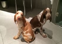 Best Dog Products For Bracco Italiano