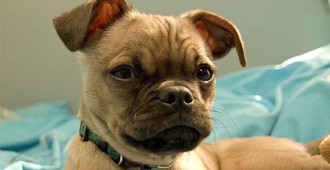 Chug Dog Breed Information