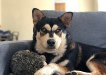 Chusky Dog Breed Information – All You Need To Know