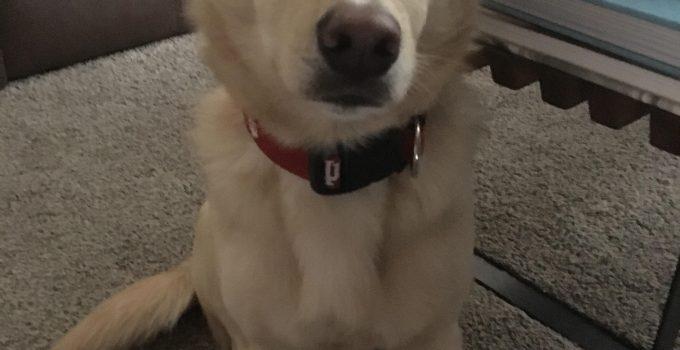 Corgidor Dog Breed Information