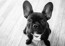 Frenchton Dog Breed Information
