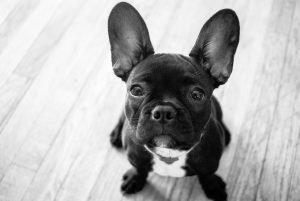 Frenchton Dog Breed Information