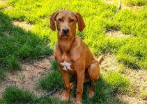 Labbe Dog Breed Information