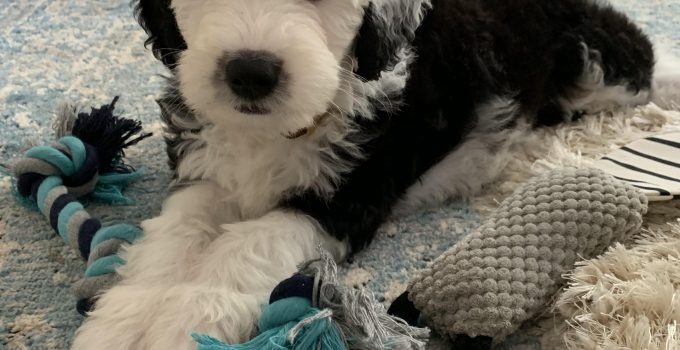 Sheepadoodle Dog Breed Information All You Need To Know