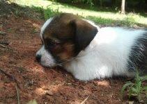 Shichi Dog Breed Information