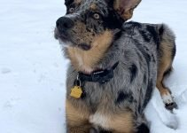 Shollie Dog Breed Information – All You Need to Know
