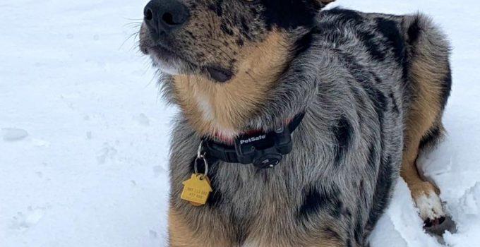 Shollie Dog Breed Information