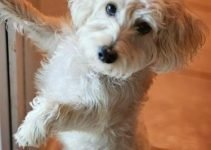 Afghan Chon Dog Breed Information – All You Need To Know