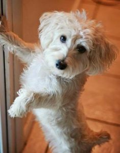 Afghan Chon Dog Breed Information All You Need To Know
