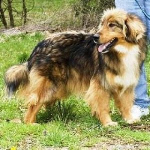Afollie Dog Breed Information All You Need To Know