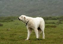 Akbash Dog Breed Information – All You Need to Know