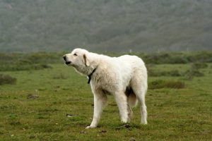 Akbash Dog Breed Information All You Need To Know