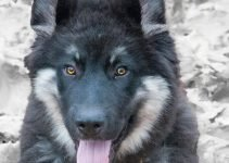 American Alsatian Dog Breed Information – All You Need To Know
