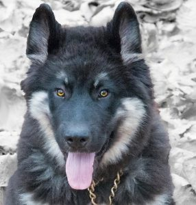 American Alsatian Dog Breed Information All You Need To Know