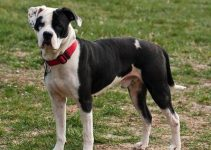 American Bulldog Dog Breed Information All You Need To Know