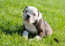 American French Bulldog Dog Breed Information – All You Need To Know