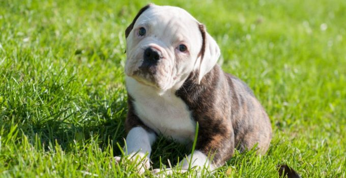 American French Bulldog Dog Breed Information All You Need To Know