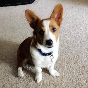Aussie Corgi Dog Breed Information All You Need To Know