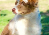 Aussie-Flat Dog Breed Information – All You Need to Know