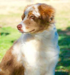 Aussie Flat Dog Breed Information All You Need To Know