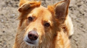 Australian Retriever Dog Breed Information All You Need To Know