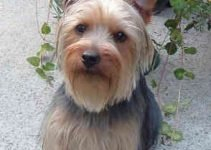 Australian Yorkshire Terrier Dog Breed Information – All You Need To Know