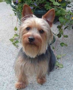 Australian Yorkshire Terrier Dog Breed Information All You Need To Know