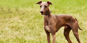 Azawakh Dog Breed Information All You Need To Know