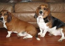 Bagle Hound Dog Breed Information All You Need To Know