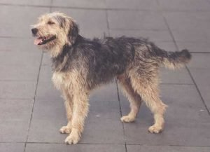 Barak Dog Breed Information All You Need To Know