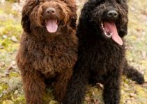 Barbet Dog Breed Information All You Need To Know