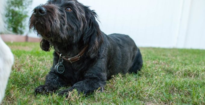 Bascottie Dog Breed Information All You Need To Know