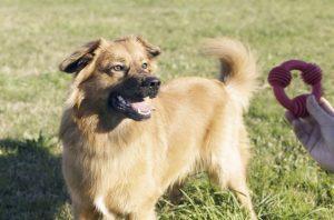 One Year Old Basque Shepherd Male Dog.