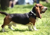 Basset Artesien Normand Dog Breed Information All You Need To Know