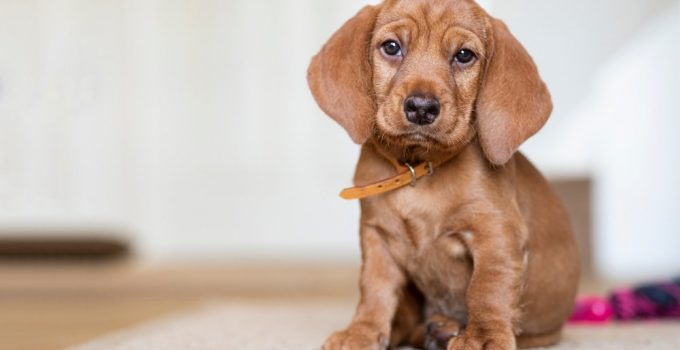 Basset Fauve De Bretagne Dog Breed Information All You Need To Know