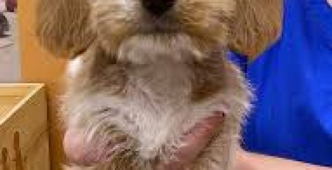 Be Apso Dog Breed Information All You Need To Know