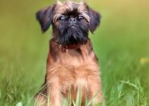 Bea Griffon Dog Breed Information All You Need To Know