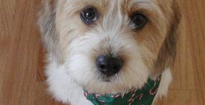 Bea Tzu Dog Breed Information All You Need To Know