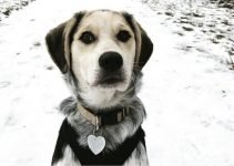 Beagle Point Dog Breed Information – All You Need to Know