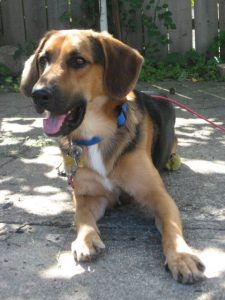 Beagle Shepherd Dog Breed Information All You Need To Know