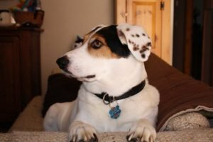Beaglemation Dog Breed Information All You Need To Know